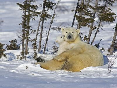 Polar Bear Cub Playing With a Watchful Mother, Wapusk National Park, Manitoba, Canada-Cathy & Gordon Illg-Photographic Print