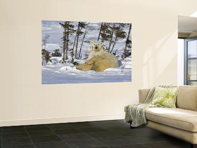 Polar Bear Cub Playing With a Watchful Mother, Wapusk National Park, Manitoba, Canada-Cathy & Gordon Illg-Wall Mural