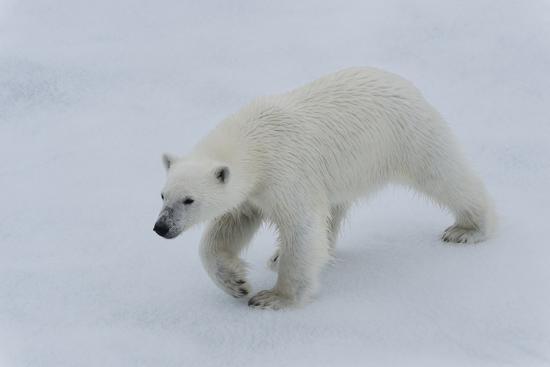 Polar bear cub (Ursus maritimus) walking on a melting ice floe, Spitsbergen Island, Svalbard archip-G&M Therin-Weise-Photographic Print