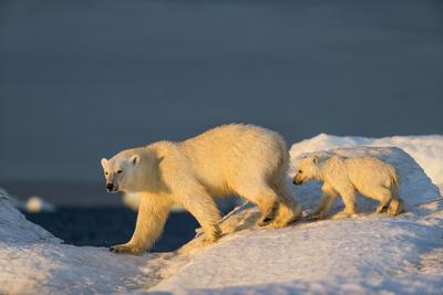 https://imgc.artprintimages.com/img/print/polar-bear-cub-walking-with-mother-across-sea-ice-near-harbor-islands-canada_u-l-q13c7nm0.jpg?p=0