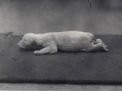 Polar Bear Cub with Eyes Not Yet Open, Lying on a Blanket at London Zoo, January 1920-Frederick William Bond-Photographic Print