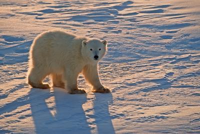 Polar Bear Cub-outdoorsman-Photographic Print
