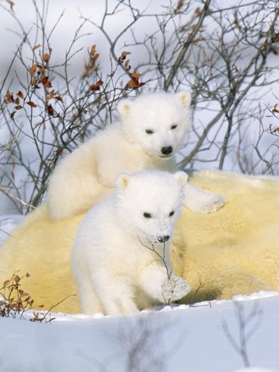 Polar Bear Cubs on Mother--Photographic Print