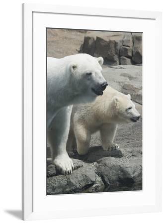 Polar Bear CZ 17 1-Robert Michaud-Framed Giclee Print