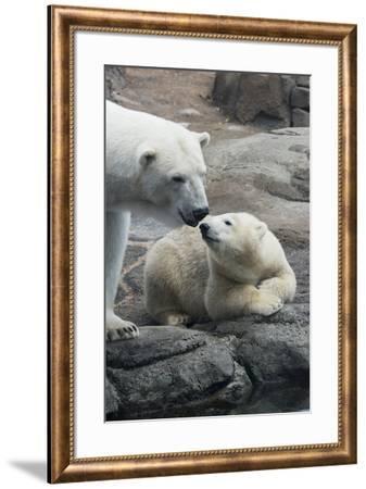 Polar Bear CZ 17 2-Robert Michaud-Framed Giclee Print