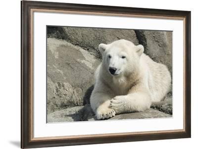 Polar Bear CZ 17 3-Robert Michaud-Framed Giclee Print