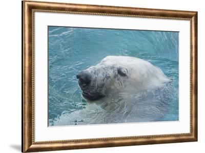 Polar Bear CZ 17 7-Robert Michaud-Framed Giclee Print