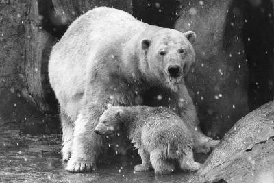 Polar Bear Family-Evening Standard-Photographic Print