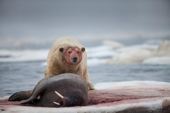 Polar Bear Feeding on Walrus, Hudson Bay, Nunavut, Canada-Paul Souders-Photographic Print