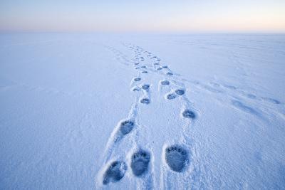 Polar Bear Footprints in the Snow, Bernard Spit, ANWR, Alaska, USA-Steve Kazlowski-Photographic Print
