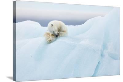 Polar Bear Grooming-Joan Gil Raga-Stretched Canvas Print