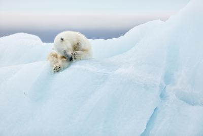 Polar Bear Grooming-Joan Gil Raga-Photographic Print