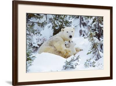 Polar Bear Huddled in Snow, with Two Cubs--Framed Photographic Print