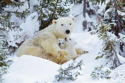 Polar Bear Huddled in Snow, with Two Cubs