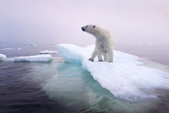 Polar Bear, Hudson Bay, Canada-Paul Souders-Photographic Print
