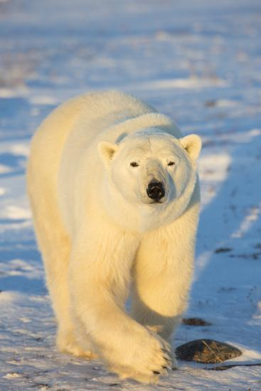 Polar Bear in Churchill Wildlife Management Area, Churchill, Manitoba, Canada-Richard and Susan Day-Photographic Print