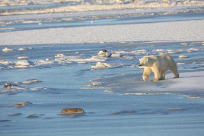 Polar Bear in Churchill Wildlife Management Area, Churchill, Manitoba, Canada-Richard and Susan Day-Photographic Print