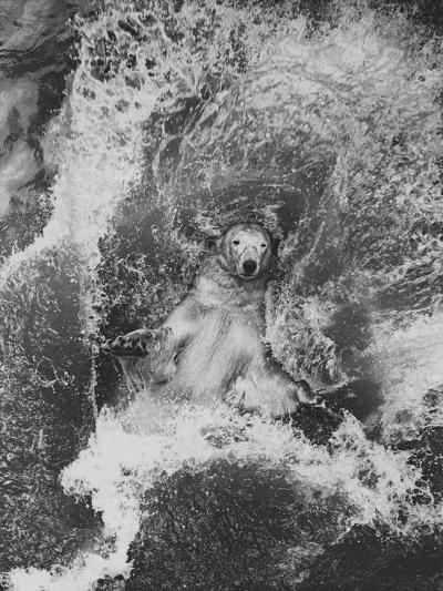 Polar Bear in Splash of Water--Photographic Print