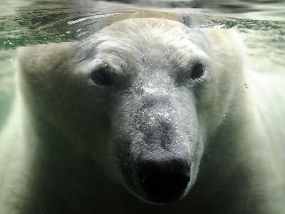 Polar Bear is Pictured under Water at the Zoo in Gelsenkirchen--Photographic Print