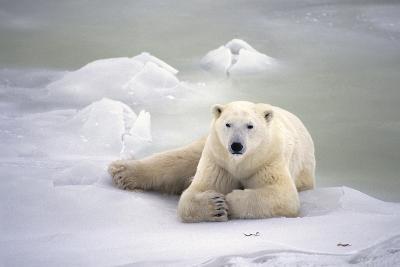 Polar Bear Laying on the Ice Churchill Manitoba Canada Spring-Design Pics Inc-Photographic Print