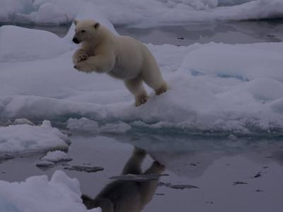 Polar Bear Leaping over a Gap in Arctic Ice-Norbert Rosing-Photographic Print