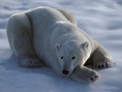 Polar Bear Lies on Ice-Jeff Foott-Photographic Print