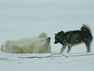 Polar Bear Lolls on His Back While a Husky Looks On-Norbert Rosing-Photographic Print
