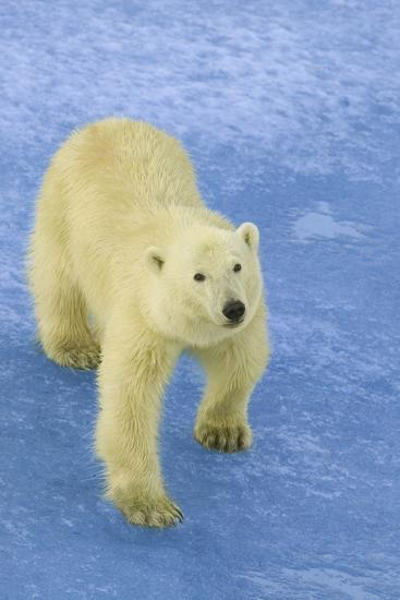 Polar Bear Looking Up-DLILLC-Photographic Print