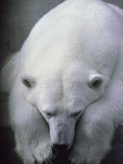 Polar Bear Lying Down-Stuart Westmorland-Photographic Print