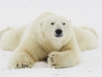 Polar bear lying in snow-John Conrad-Photographic Print