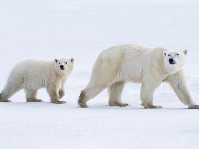 Polar Bear Mother and Cub, Ursus Maritimus, Hudson Bay, Canada-Frans Lanting-Photographic Print