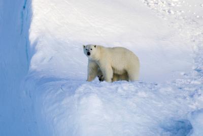 Polar Bear Mother And Cub-Louise Murray-Photographic Print