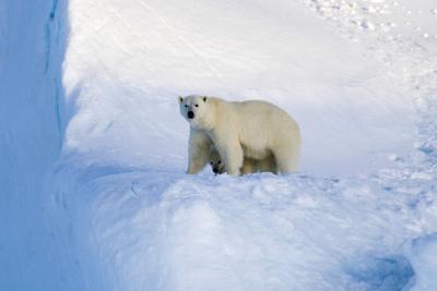 https://imgc.artprintimages.com/img/print/polar-bear-mother-and-cub_u-l-pziwn00.jpg?p=0