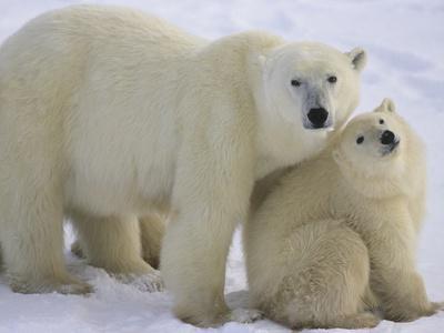 https://imgc.artprintimages.com/img/print/polar-bear-mother-and-cub_u-l-pzl2ll0.jpg?p=0
