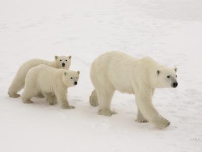 https://imgc.artprintimages.com/img/print/polar-bear-mother-and-cubs_u-l-pzkrk30.jpg?p=0
