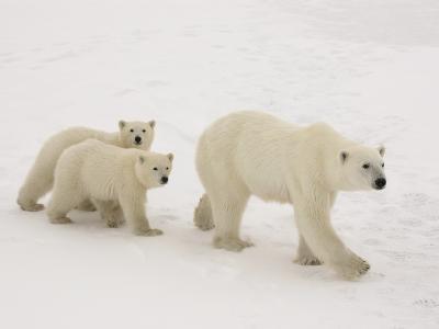 Polar Bear Mother and Cubs-Daniel Cox-Photographic Print