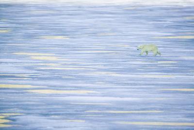 Polar Bear on a Sea of Ice-DLILLC-Photographic Print