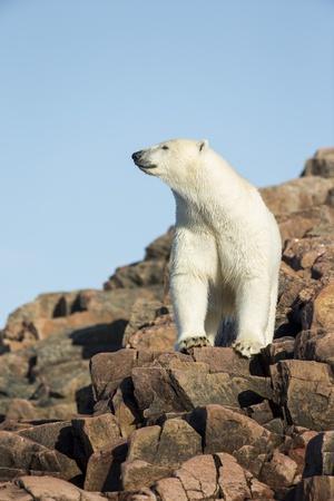 https://imgc.artprintimages.com/img/print/polar-bear-on-harbour-islands-hudson-bay-nunavut-canada_u-l-pzqiom0.jpg?p=0