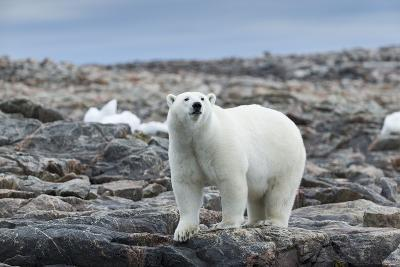 Polar Bear on Harbour Islands, Hudson Bay, Nunavut, Canada-Paul Souders-Photographic Print