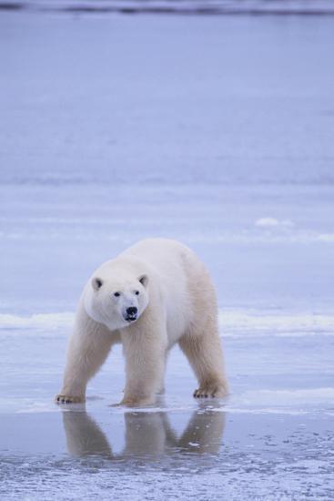 Polar Bear on Ice-DLILLC-Photographic Print