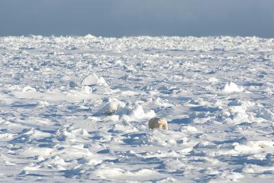 Polar Bear on Ice-EEI_Tony-Photographic Print