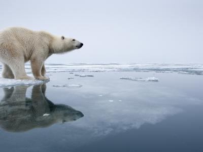 Polar Bear on Melting Ice, Svalbard, Norway-Paul Souders-Photographic Print