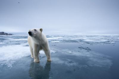 Polar Bear on Melting Ice--Photographic Print
