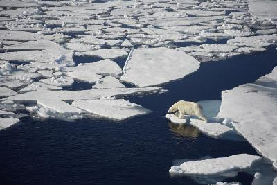 Polar Bear on Melting Sea Ice, High Angle View from Cruise Ship; Svalbard, Norway-Design Pics Inc-Photographic Print