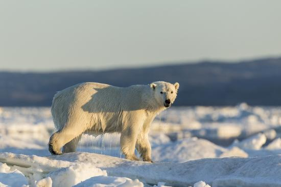 Polar Bear on Sea Ice, Hudson Bay, Nunavut, Canada-Paul Souders-Photographic Print