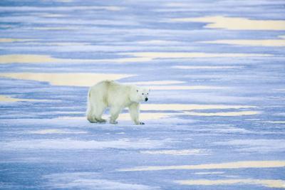 https://imgc.artprintimages.com/img/print/polar-bear-on-sea-ice_u-l-pzratt0.jpg?p=0