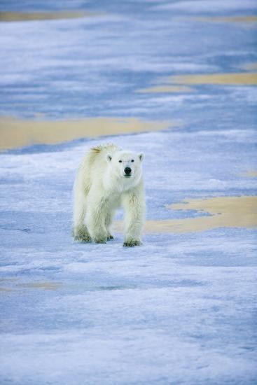 Polar Bear on Sea Ice-DLILLC-Photographic Print