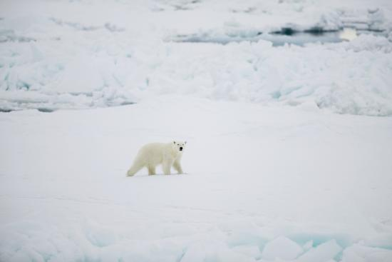 Polar Bear on Sea Ice-DLILLC-Photographic Print