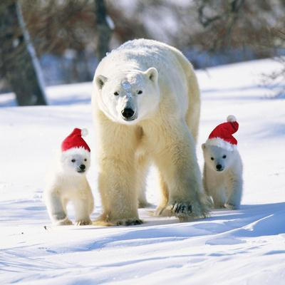 Polar Bear Parent with Cubs Wearing Christmas Hats--Photographic Print