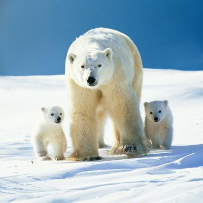 Polar Bear Parent with Cubs--Photographic Print